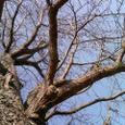 居眠り中のいちょうの木
