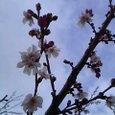雪も滴るべっぴん桜