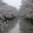 外堀の桜トンネル
