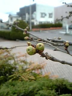大前のお隣のホタテ桜