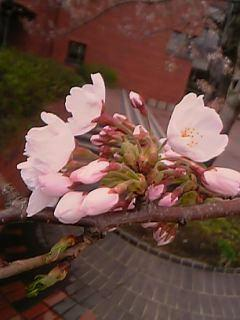 雨上がりの桜たち